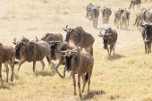 Wildebeests walking