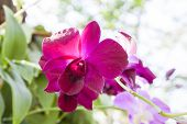 Fuchsia Color Orchid Flower In Bloom.