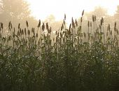 Corn Field in Sunny Morning Haze