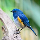 foto of robin bird  - Blue bird male Himalayan Bluetail (Tarsiger rufilatus) standing on the log side profile ** Note: Visible grain at 100%, best at smaller sizes - JPG