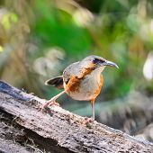 foto of babbler  - Brown bird Rusty - JPG
