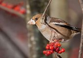 The bird the grosbeak sits on a tree branch