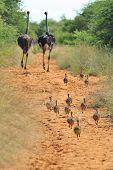 picture of ostrich plumage  - A flock of Ostrich chicks run after their mom, as seen in the wilds of Namibia, southwestern Africa.