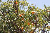 Orange trees - Citrus sinensis