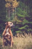 picture of border terrier  - gundog, spaniel, crossbreed, border terrier, staffordshire bull terrier, ** Note: Visible grain at 100%, best at smaller sizes - JPG