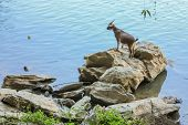Standing Goat On The Rock