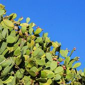 foto of prickly-pear  - Multitude of prickly pears with fruits on a sunny day - JPG