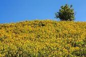 Tree Marigold Field