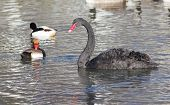 Black Swan With Wild Ducks