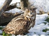 foto of snow owl  - Close up of large Eagle Owl standing on grass with snow