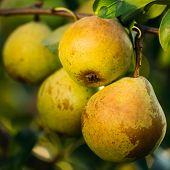 Fresh Green Pears On Pear Tree Branch, Bunch