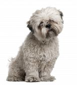 Lhasa Apso, 14 Months Old, Sitting In Front Of White Background