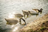 Group Of Swan