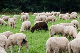 image of suffolk sheep  - A black sheep among the white ones  - JPG
