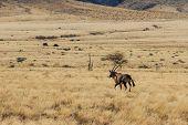 picture of antelope horn  - Beautiful gemsbok gemsbuck or oryx walking in field Namib Desert Namibia Africa. Long horn big antelope. ** Note: Shallow depth of field - JPG