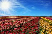 image of buttercup  - Bright spring sun - JPG