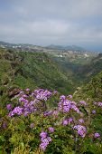 foto of may-flower  - Pericallis webbii commonly known as May flower flowering plant native to Gran Canaria flowers in Barranco de Moya - JPG