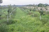 image of orchard  - Young orchard in Mazowieckie province - JPG