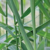 image of spiky plants  - Common Reed Phragmites Leaf - JPG