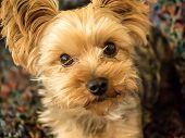 picture of yorkie  - cute, little blond Yorkie looking at camera with big, brown eyes ** Note: Visible grain at 100%, best at smaller sizes - JPG