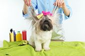picture of barbershop  - Cute Shih Tzu and hairdresser in barbershop isolated on white - JPG