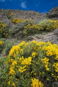 stock photo of abundance  - abundant flowering of Genista microphylla plant endemic to Canary Islands on the walls of Candera de Tejeda - JPG