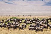 stock photo of saharan  - A heard of wildebeest stand grazing on the dry grass inside the Ngorongoro Crater with the slopes of the crater in the background - JPG