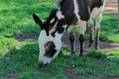 foto of herbivore animal  - a closeup of a donkey grazing on grass in animal sanctuary