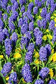 image of primrose  - Blue hyacinth bulbous plants bedded with yellow primroses - JPG