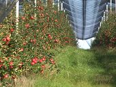 stock photo of apple orchard  - Apple orchard with red ripe apples on the trees - JPG