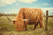 image of highland-cattle  - A highland cow in the fields on a sunny day - JPG