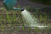 picture of spray can  - Close up of water can spraying water on young onion in vegetable garden - JPG