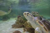 foto of hawksbill turtle  - Hawksbill turtles live in the sea naturally - JPG