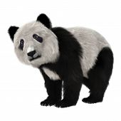 pic of panda bear  - 3D digital render of a panda bear cub isolated on white background - JPG
