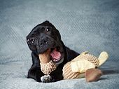 image of staffordshire-terrier  - A Staffordshire Bull Terrier Puppy with a Toy  - JPG