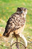 picture of owl eyes  - Owl with orange eyes sitting on a perch - JPG