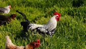 pic of roosters  - Rooster and Chickens - JPG