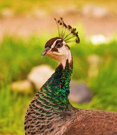 foto of female peacock  - Beautiful peacock female in the park - JPG