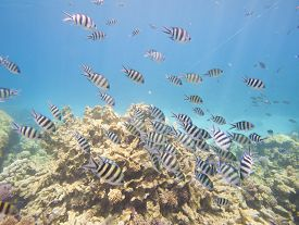 pic of sergeant major  - Shoal of sergeant major damselfish Abudefduf saxatilis on a tropical coral reef - JPG