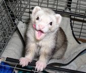 Ferret Licking