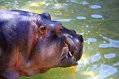 Hippopotamus Amphibius Eating A Pumpkin