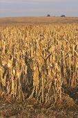 Cornfield Ready For Harvest At Sunrise