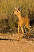 Portrait Of A Steenbuck