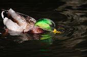 Duck Gathering Food