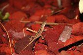Brown Anole Gecko