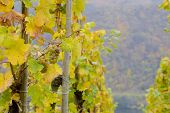 vineyards near Pommern, Rheinland Pfalz, Germany