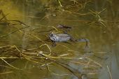 Frog in the water.