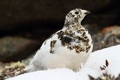 Wild female white-tailed ptarmigan