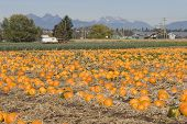 Pumpkin Farm In Cloverdale, British Columbia
