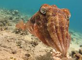 stock photo of sucker-fish  - Portrait of a Cuttlefish  - JPG